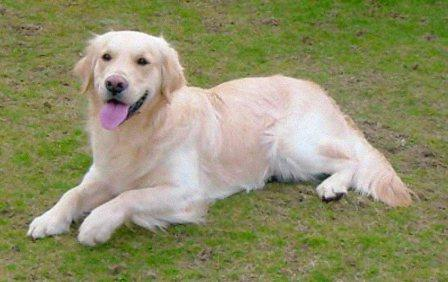 Available adult golden retriever — photo 10